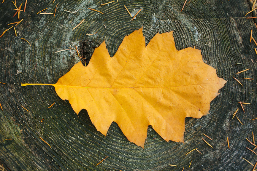 A golden leaf represents how to monetize a blog without ads.